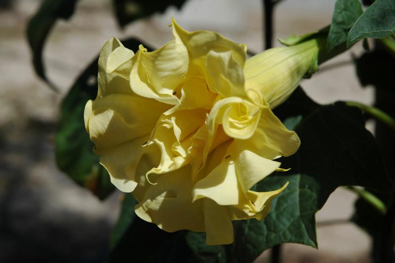 yellow Datura