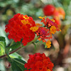 my Lantanas are very beautiful