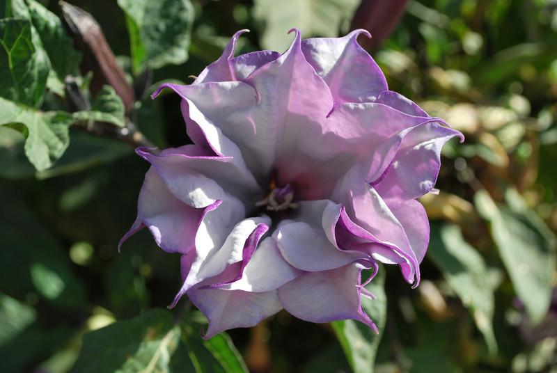 Purple Datura