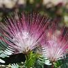 Calliandra eriophylla - pink fairy duster