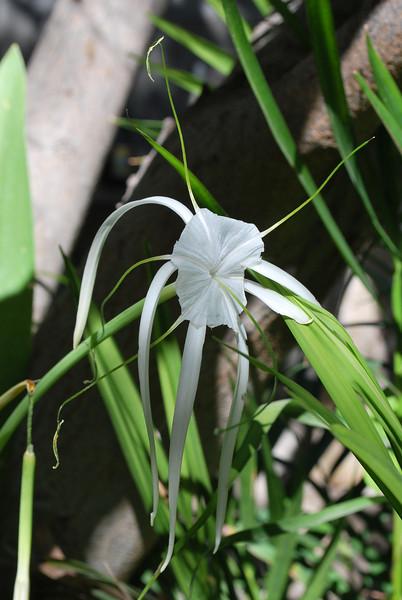 Hymenocallis littoralis