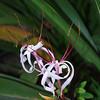 Crinum asiaticum (Spider lily)