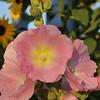 one of dad's Stockrosen (alcea rosea)