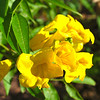 Tecoma stans - Yellow Elder