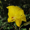 Merremia aurea - Yuca - Yellow morning glory