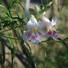 Desert willow - Chilopsis linearis