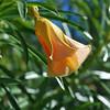 Thevitia peruviana - Peruvian Oleander