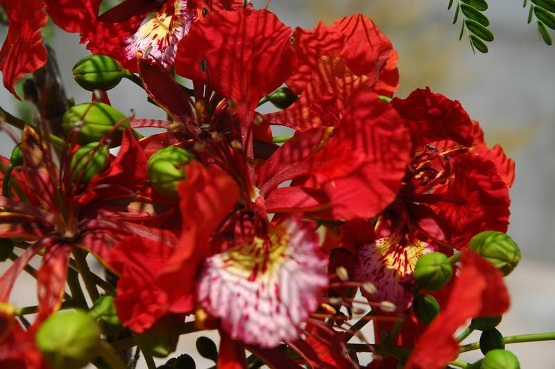 Stunning Delonix regia (Flame tree)