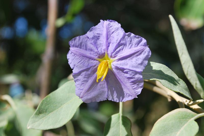 my favorite desert plant Solanum hindsianum (Mariola in Mexico)