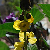 Senna didymobotrya (Calceolaria Shower)