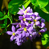 Petrea volubilis - Blue Bird Vine
