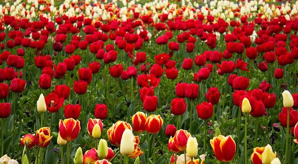 Paddock of Tulips