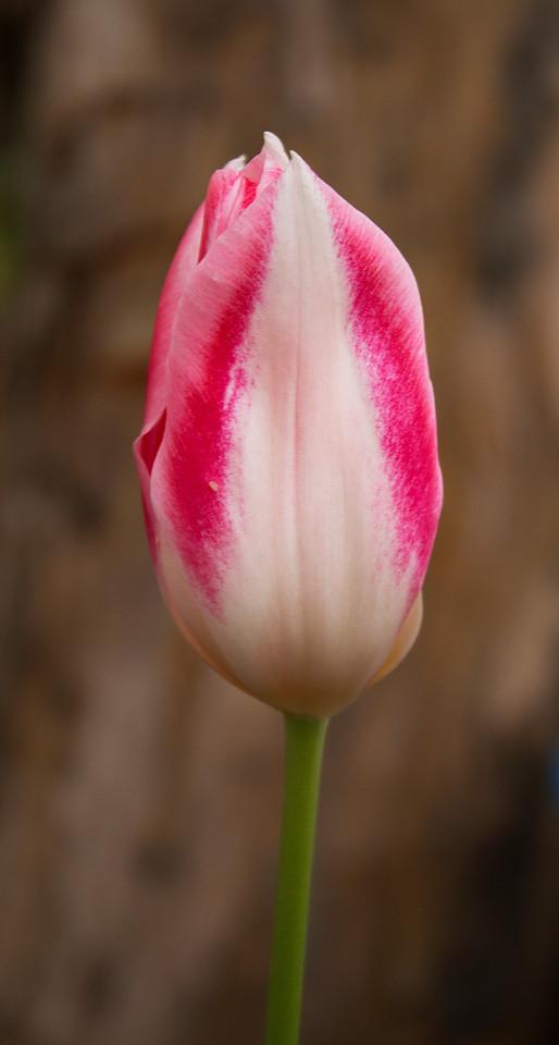 White & Red Tulip
