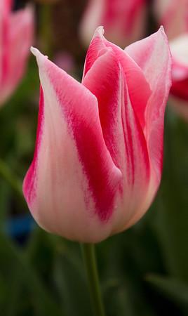 Red & white Tulip
