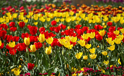 Whole garden of Tulips