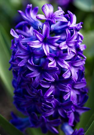 Blue Hycianth