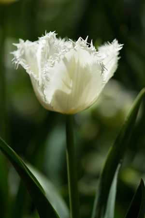 White frilly Tulip