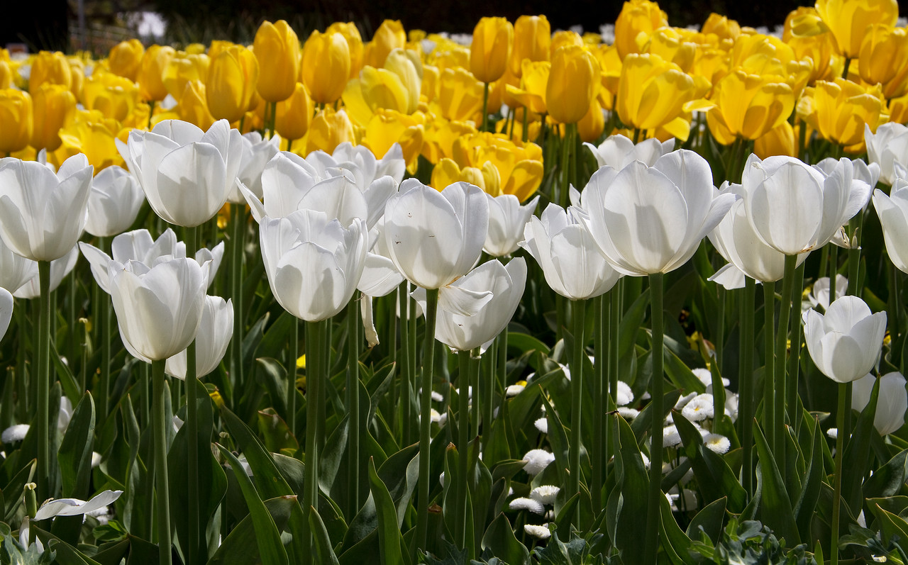 Yellow & white Tulips