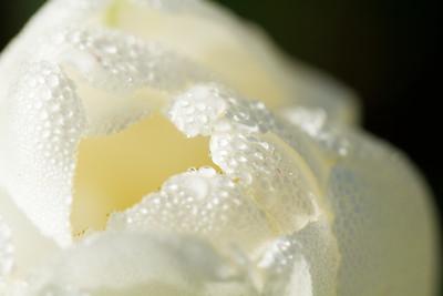 White tulip droplets