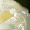 White tulip droplets