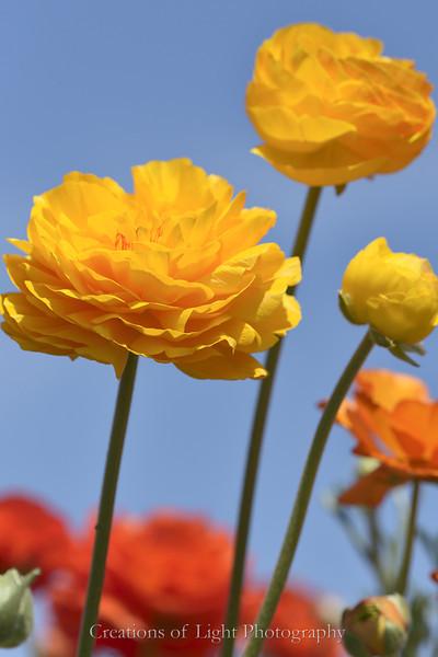 Flower Fields 197