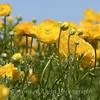 Flower Fields 184