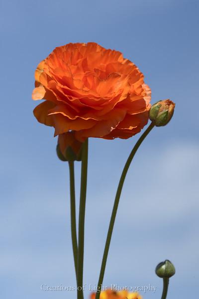 Flower Fields 192