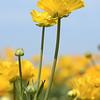 Flower Fields 186