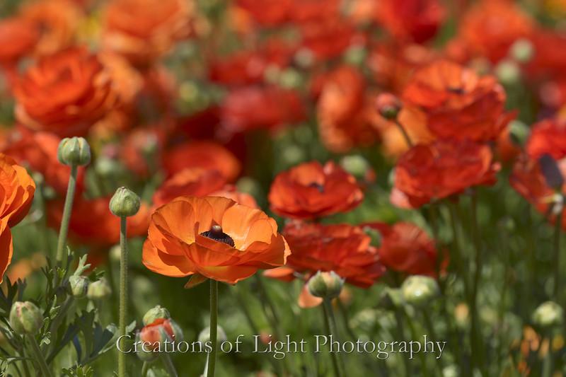 Flower Fields 199