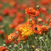 Flower Fields 204