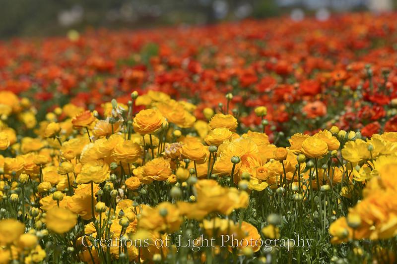 Flower Fields 189
