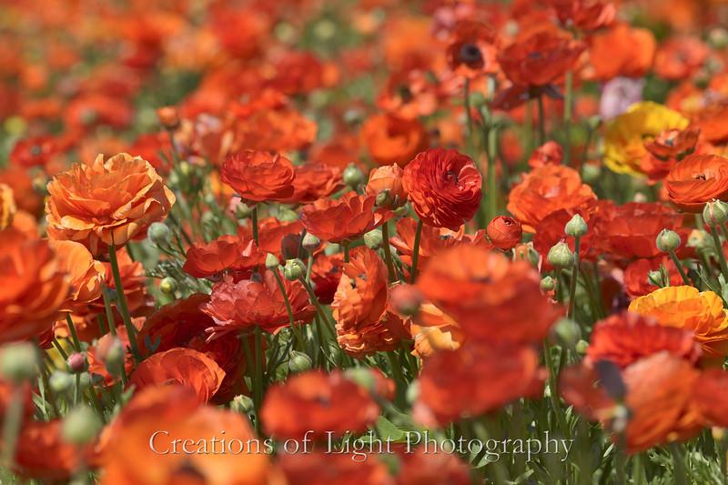 Flower Fields 200