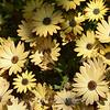Flower Fields 220