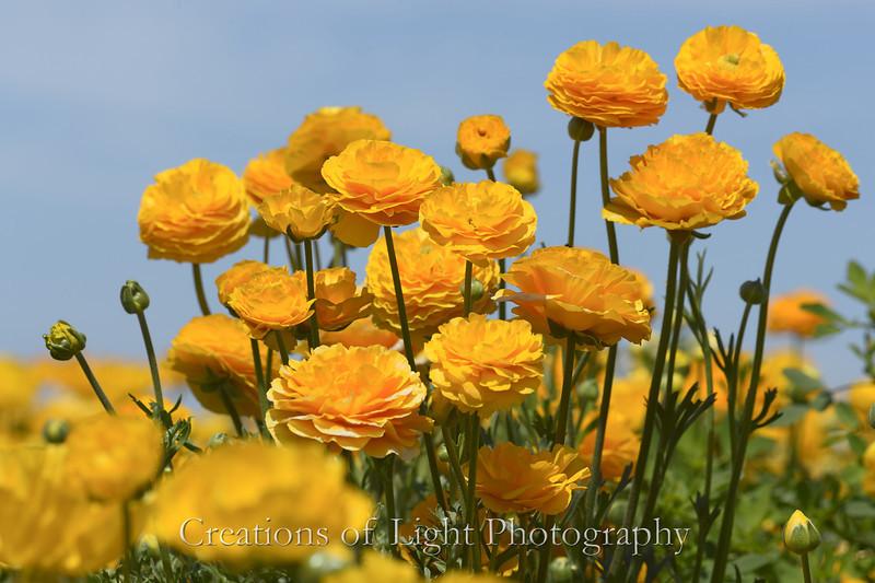 Flower Fields 183