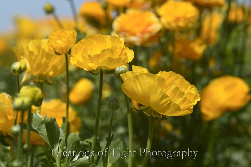 Flower Fields 185