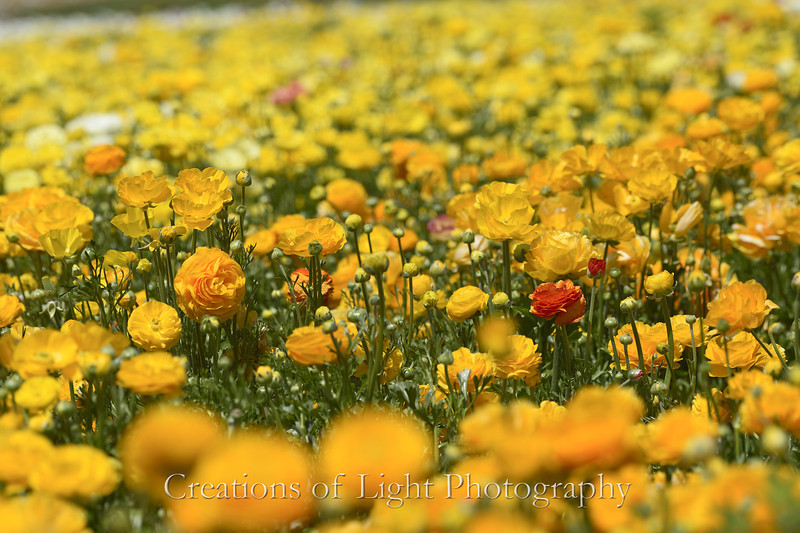 Flower Fields 187