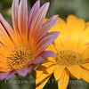 Flower Fields 215