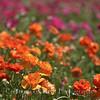 Flower Fields 203