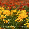 Flower Fields 190