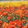 Flower Fields 202