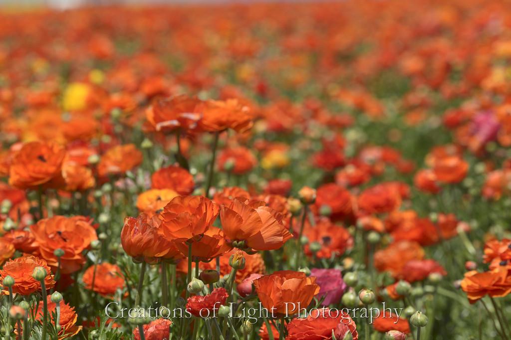 Flower Fields 201
