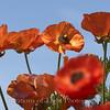 Flower Fields 193