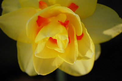 Daffodil at Sunset
