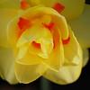 Daffodil at Sunset