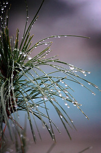Pine Dew