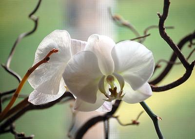 Graduation Orchid