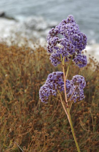 Sea Lavender (Limonium perezii) along coast in La Jolla