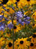 Brown-eyed Susans & African lily (Agapanthus); Fairview NC