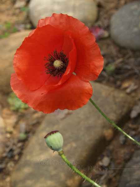 Poppy with bud; Fairview, NC