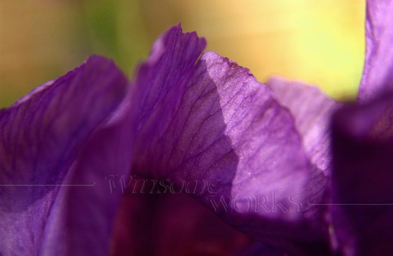 Purple bearded iris at Christopher Dock Mennonite H.S.; Harleysville, PA